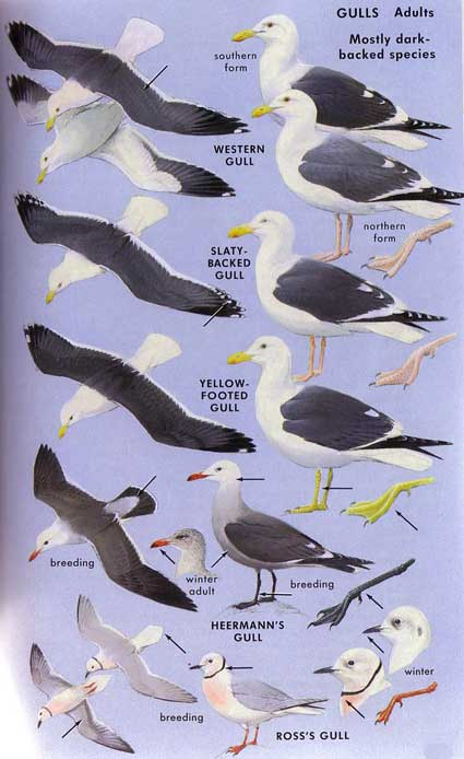 SEA GULL SPECIES