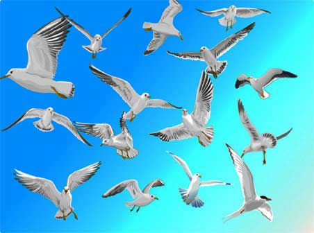 Herring Gull flying positions