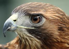 Face of the Red Tailed Hawk