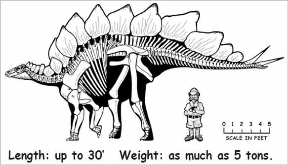 Stegosaurus information graphic